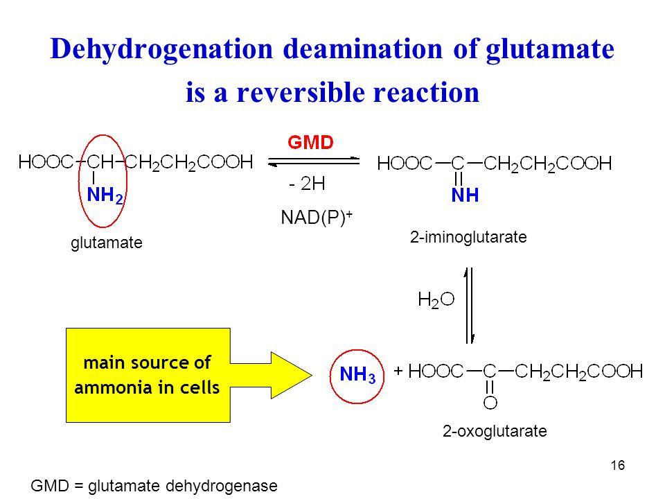 Dehydrogenation deamination of glutamate is a reversible reaction