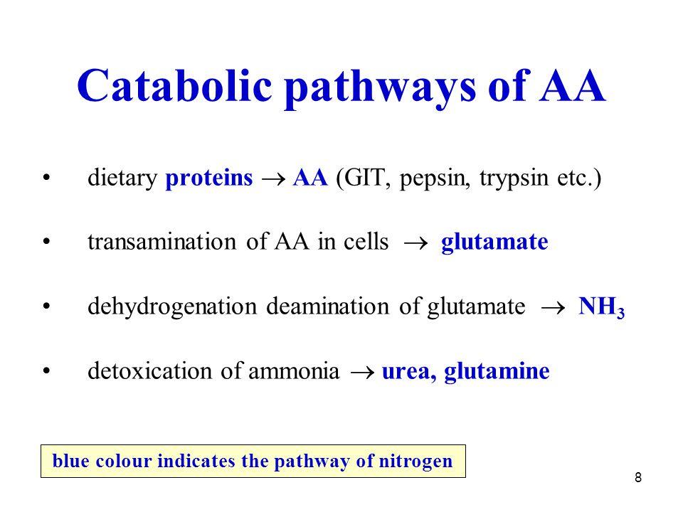Catabolic pathways of AA