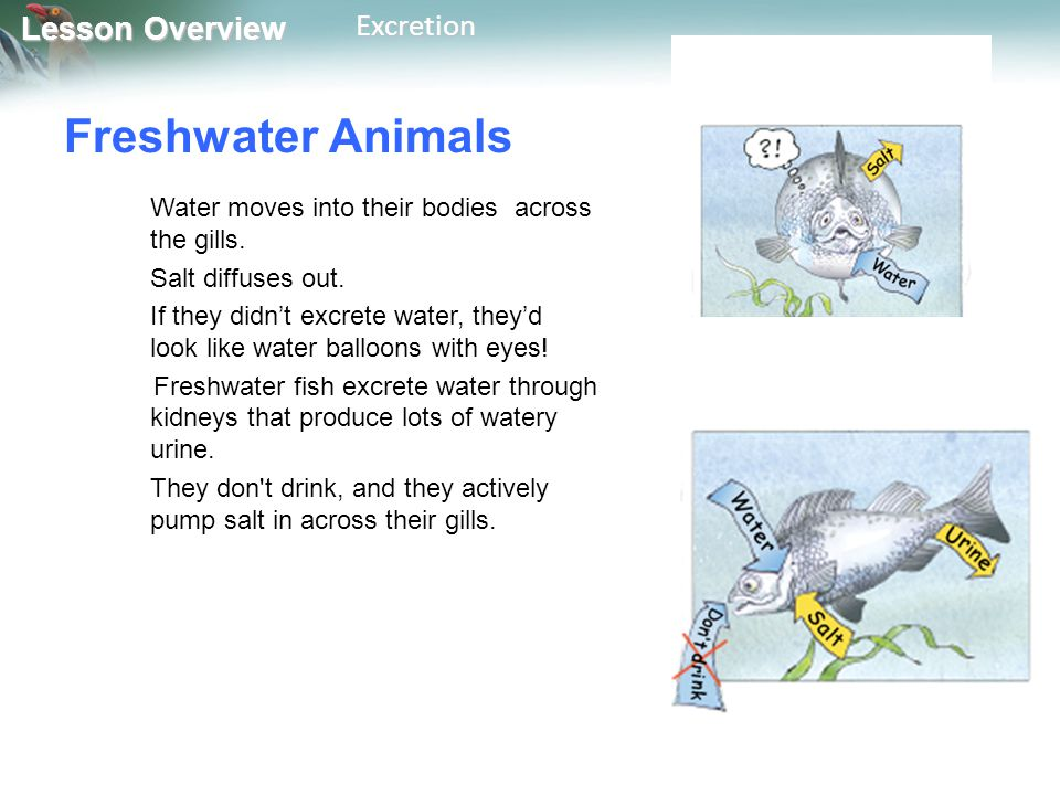 Freshwater Animals Water moves into their bodies across the gills.