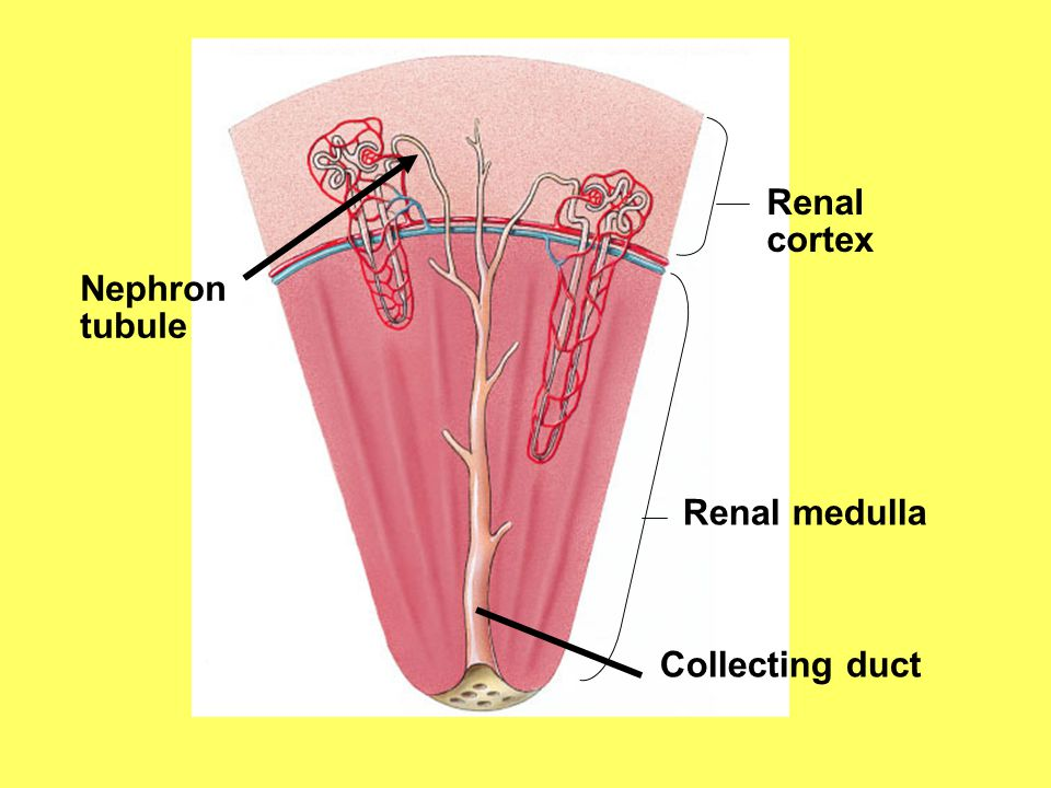 Renal cortex Nephron tubule Renal medulla Collecting duct