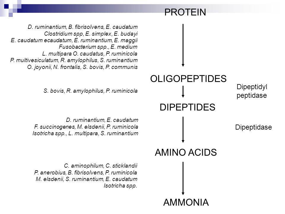 PROTEIN OLIGOPEPTIDES DIPEPTIDES AMINO ACIDS AMMONIA Dipeptidyl