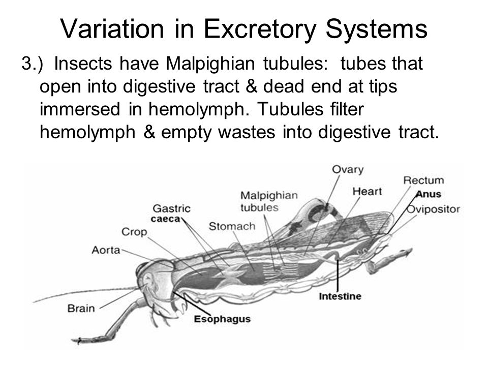 Variation in Excretory Systems