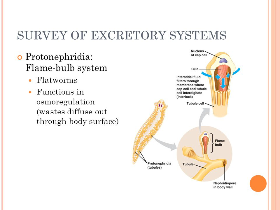 SURVEY OF EXCRETORY SYSTEMS