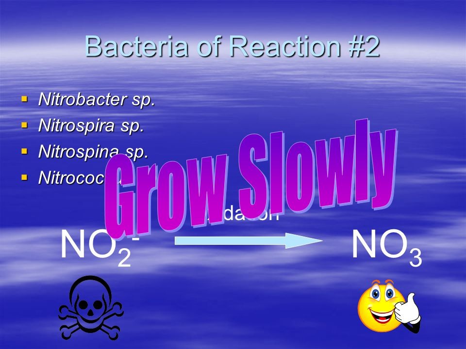 NO2- NO3 Bacteria of Reaction #2 Grow Slowly Oxidation Nitrobacter sp.