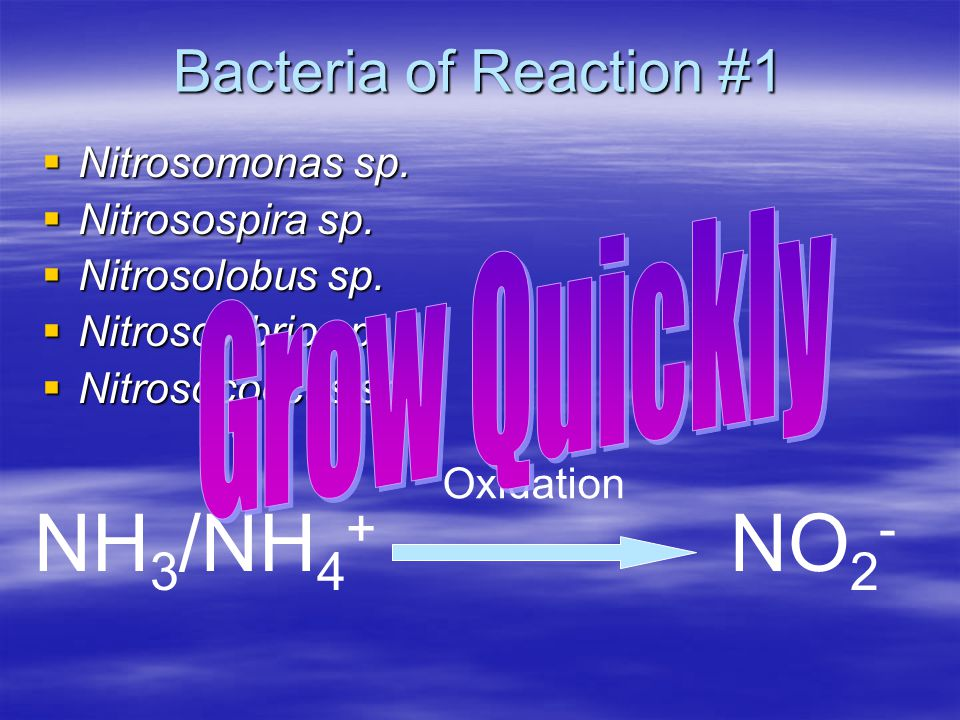 NH3/NH4+ NO2- Bacteria of Reaction #1 Grow Quickly Nitrosomonas sp.