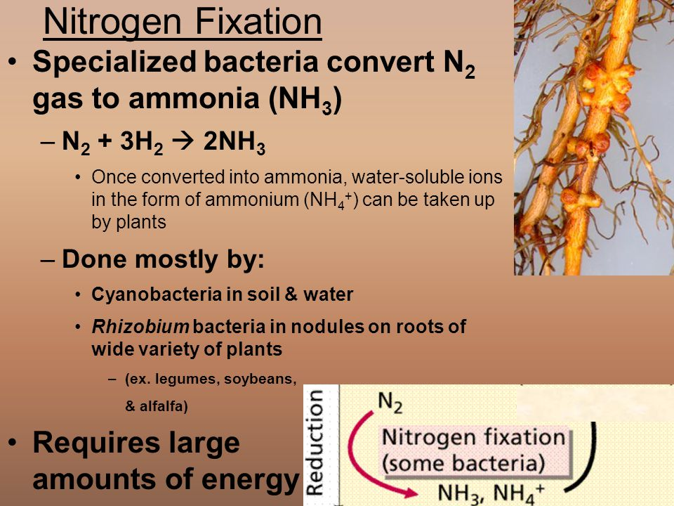 Nitrogen Fixation Specialized bacteria convert N2 gas to ammonia (NH3)