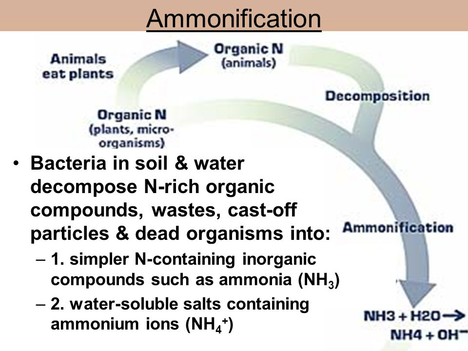 Ammonification Bacteria in soil & water decompose N-rich organic compounds, wastes, cast-off particles & dead organisms into: