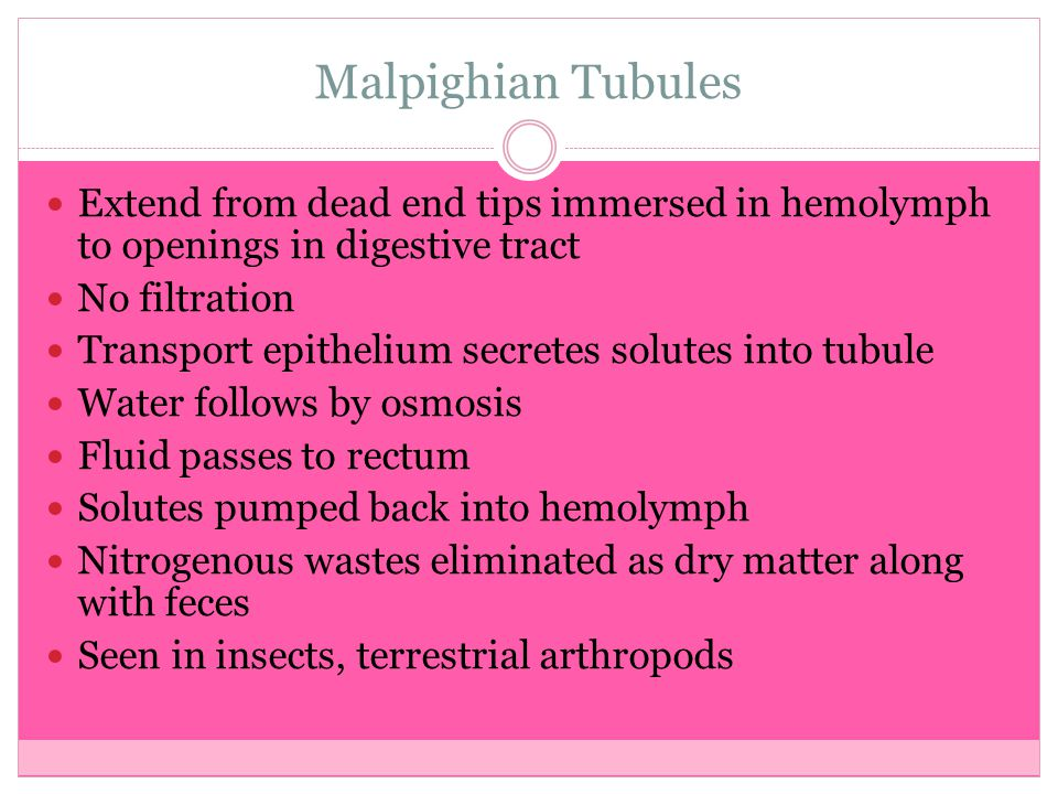 Malpighian Tubules Extend from dead end tips immersed in hemolymph to openings in digestive tract. No filtration.
