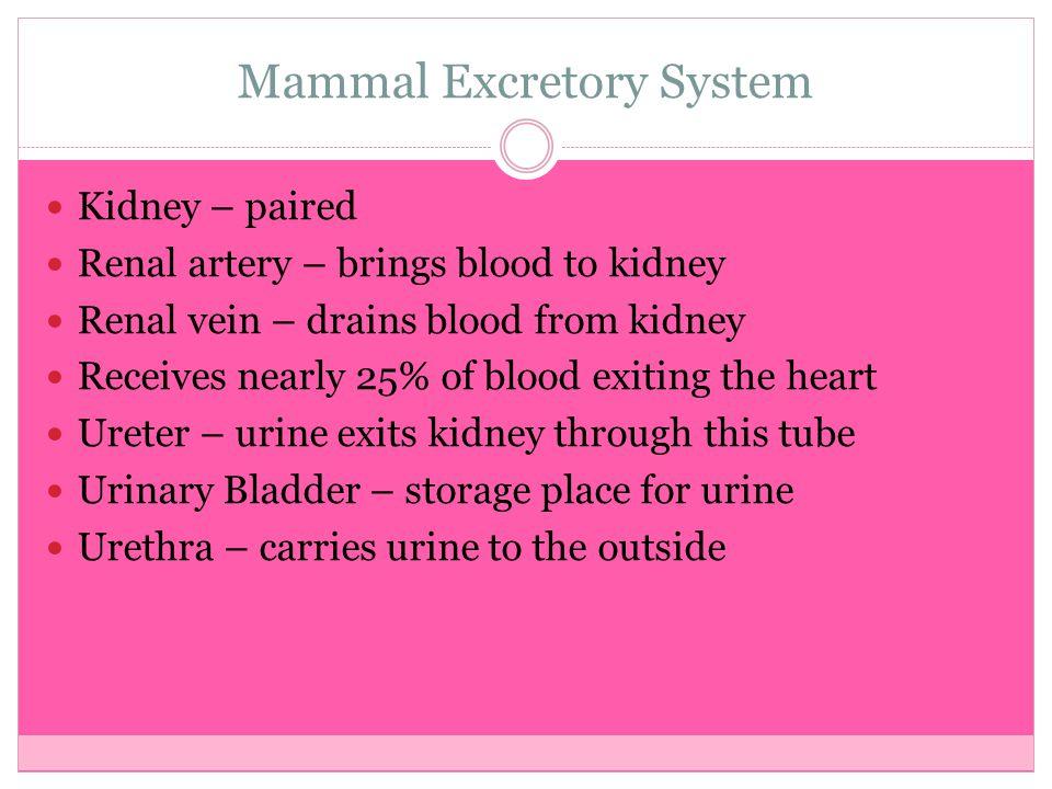 Mammal Excretory System