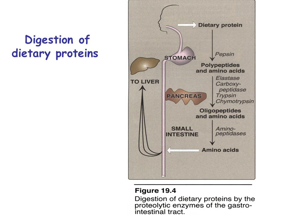 Digestion of dietary proteins