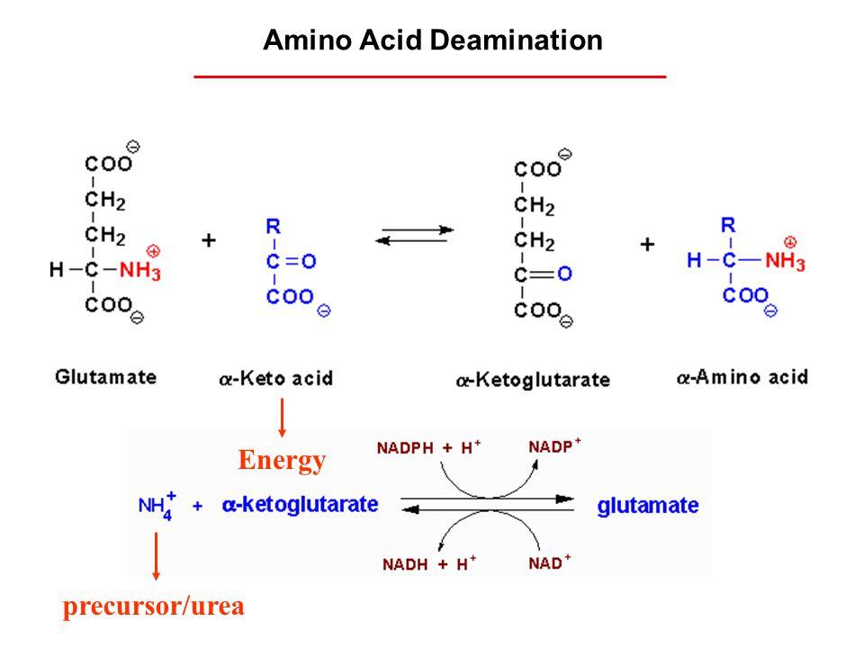 Amino Acid Deamination