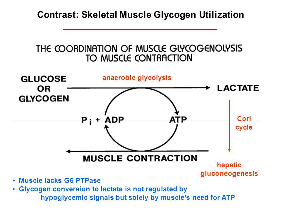 Contrast: Skeletal Muscle Glycogen Utilization