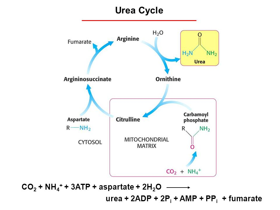 Urea Cycle CO2 + NH4+ + 3ATP + aspartate + 2H2O
