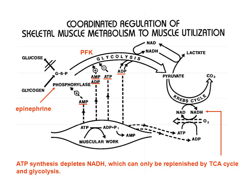 PFK epinephrine. ATP synthesis depletes NADH, which can only be replenished by TCA cycle.