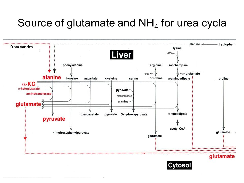 Source of glutamate and NH4 for urea cycla