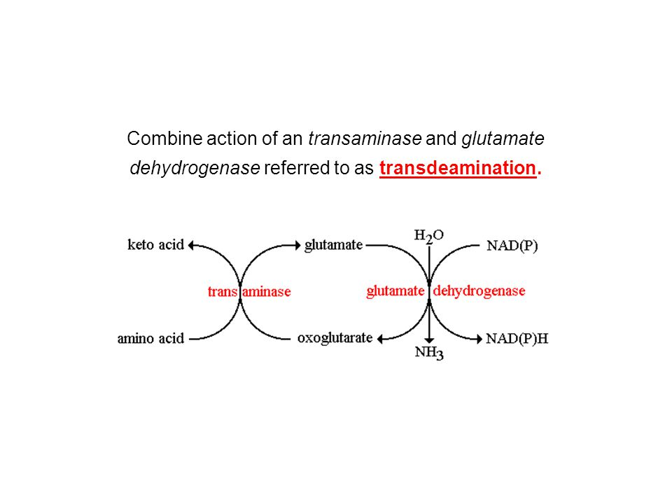 Combine action of an transaminase and glutamate dehydrogenase referred to as transdeamination.
