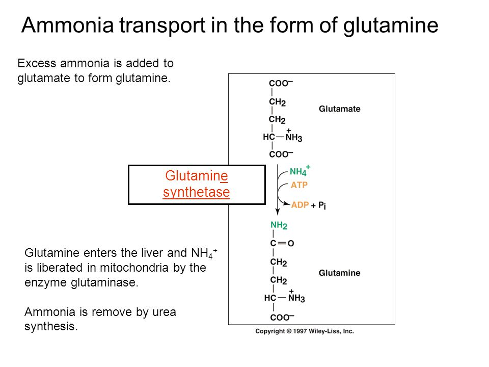 Ammonia transport in the form of glutamine
