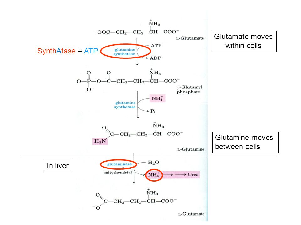 Glutamate moves within cells
