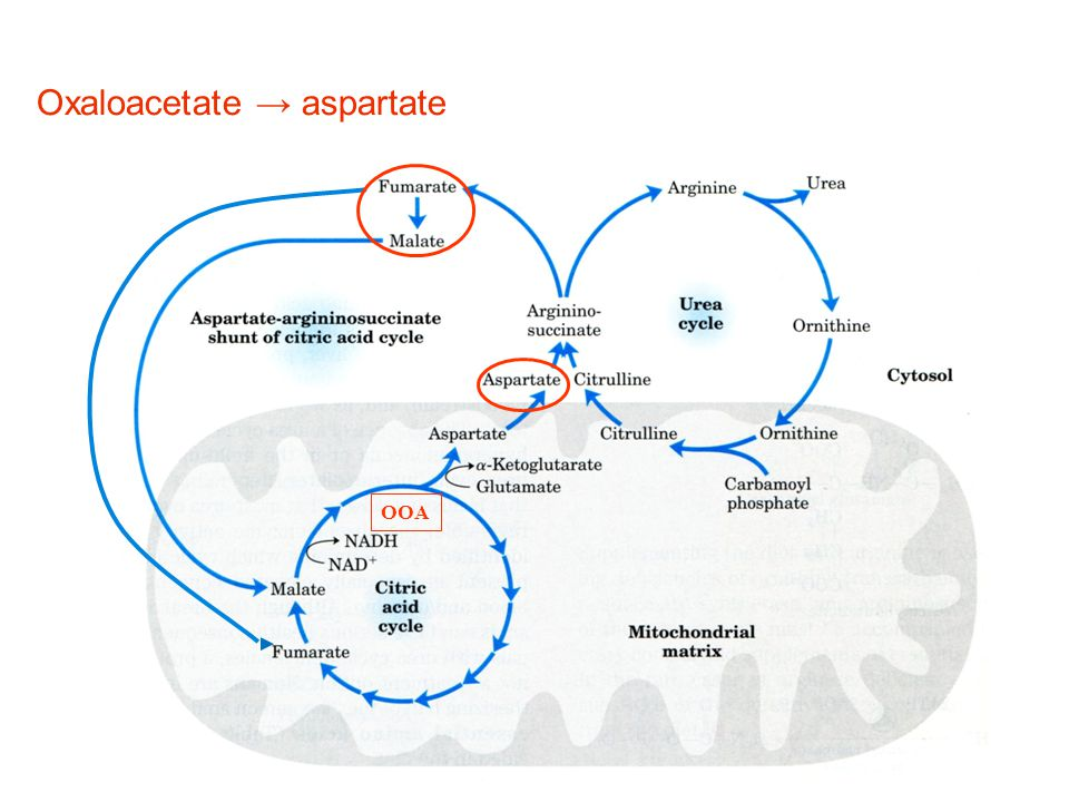 Oxaloacetate → aspartate
