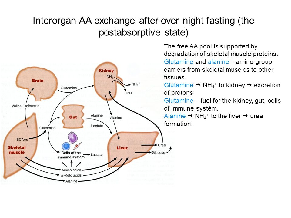 Interorgan AA exchange after over night fasting (the postabsorptive state)