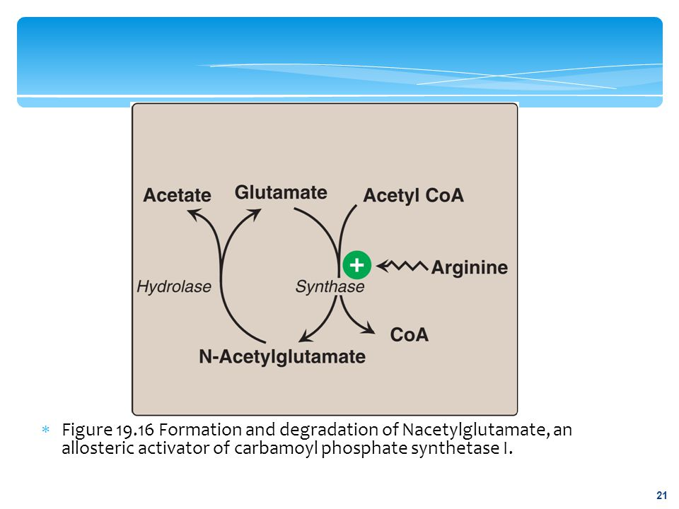 Figure 19.16 Formation and degradation of Nacetylglutamate, an allosteric activator of carbamoyl phosphate synthetase I.