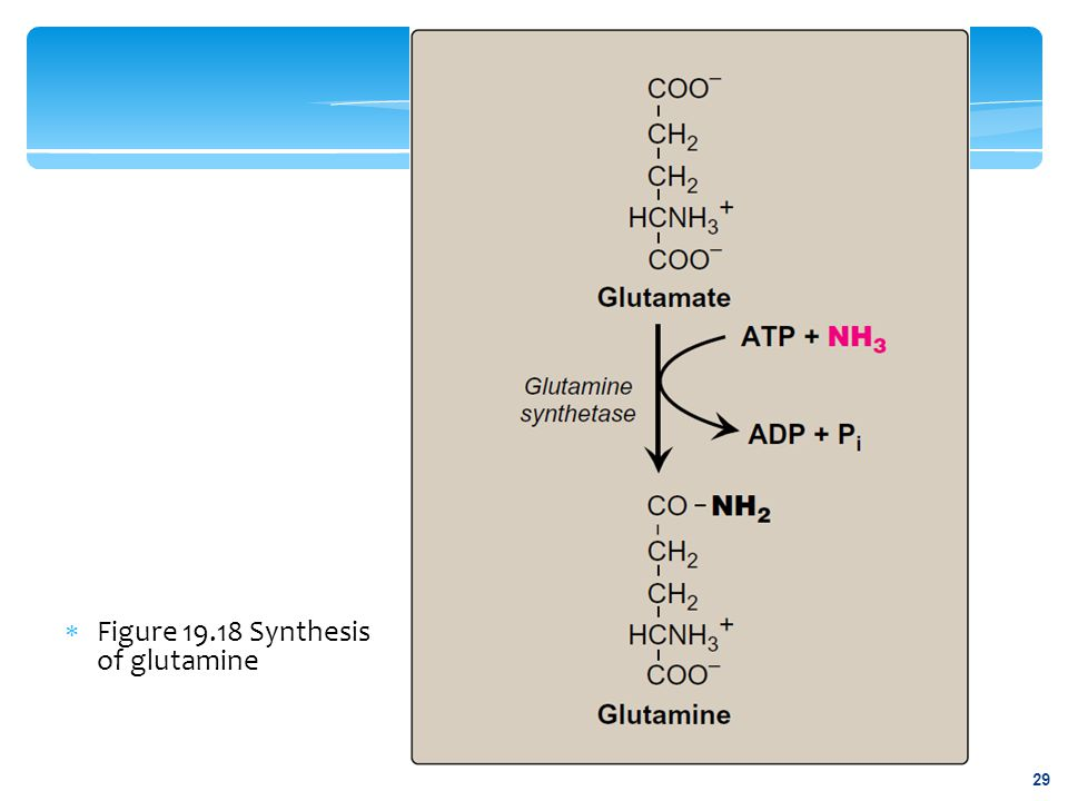 Figure 19.18 Synthesis of glutamine