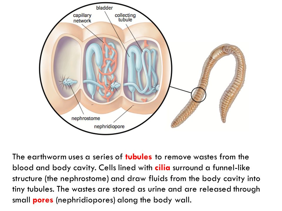 The earthworm uses a series of tubules to remove wastes from the blood and body cavity.