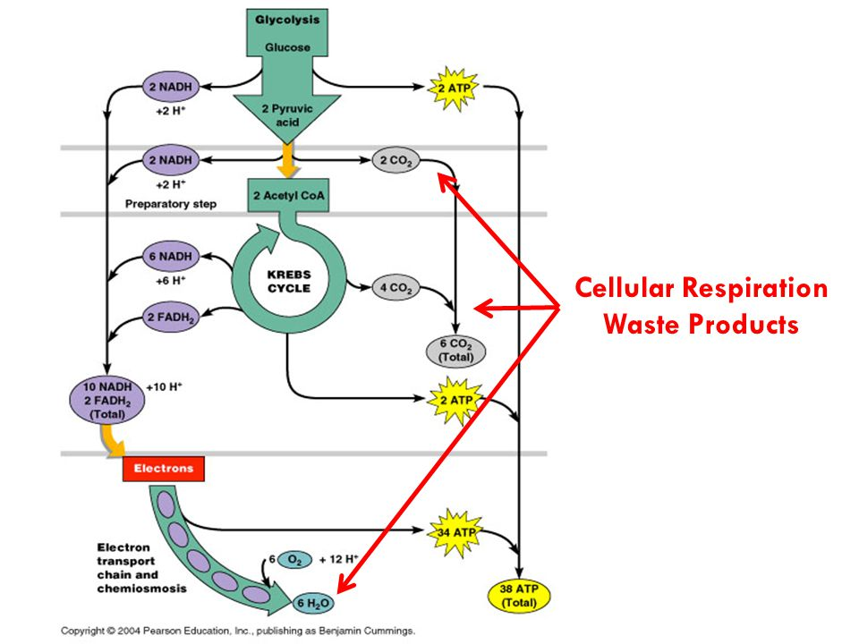 Cellular Respiration Waste Products