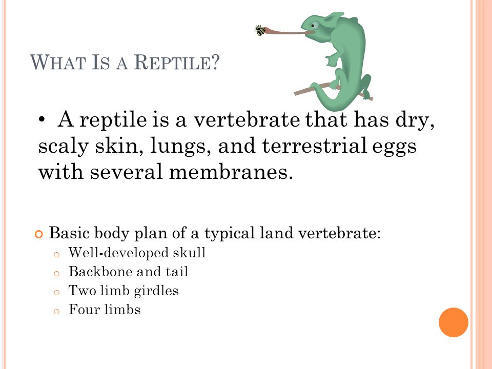 What Is a Reptile A reptile is a vertebrate that has dry, scaly skin, lungs, and terrestrial eggs with several membranes.