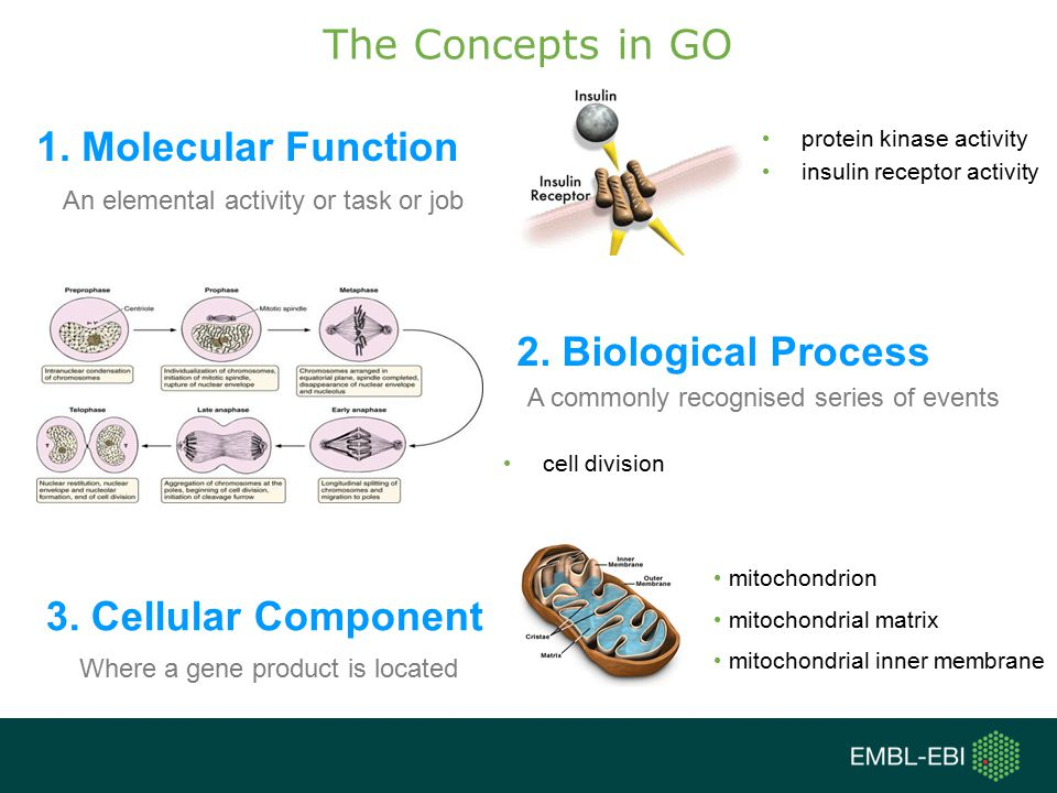 The Concepts in GO 1. Molecular Function 2. Biological Process