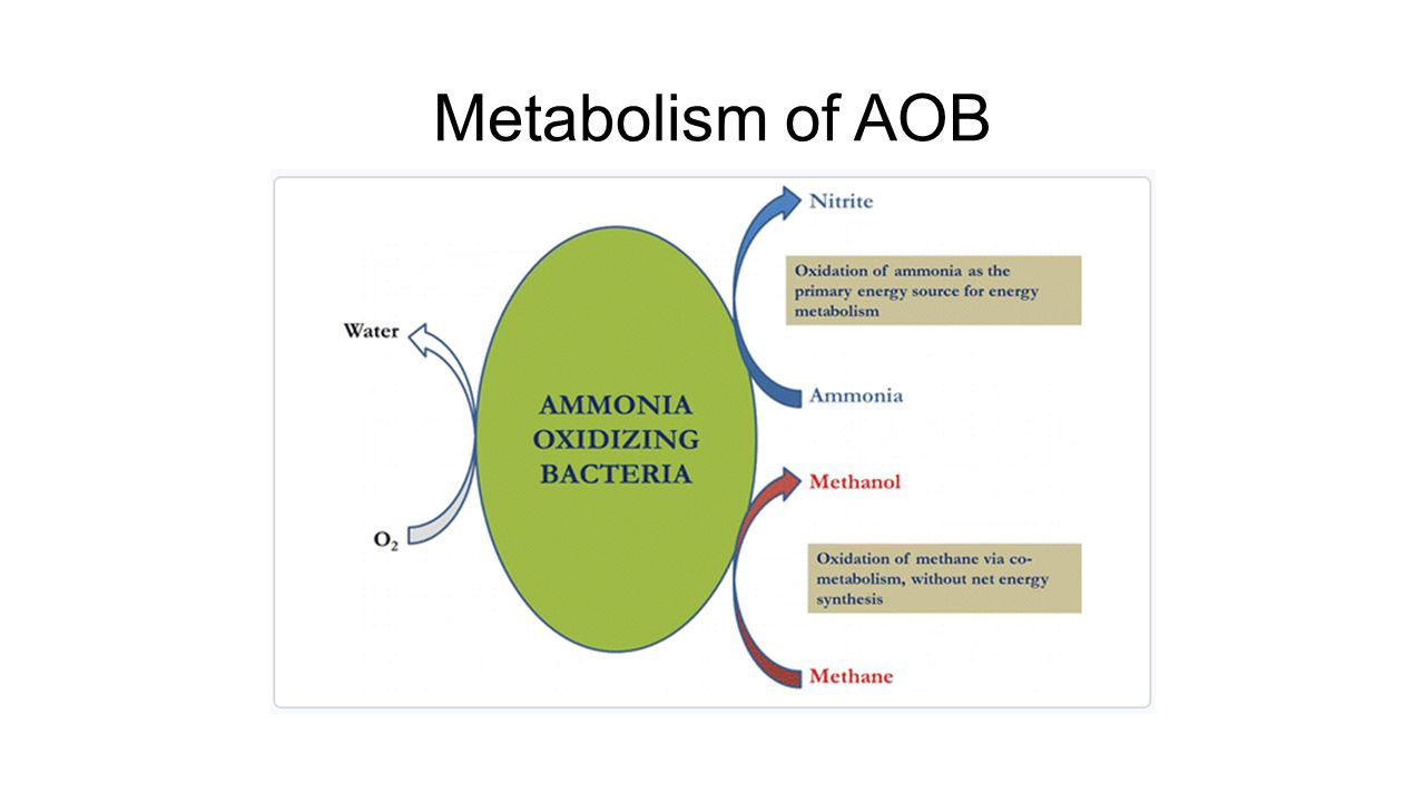 Metabolism of AOB