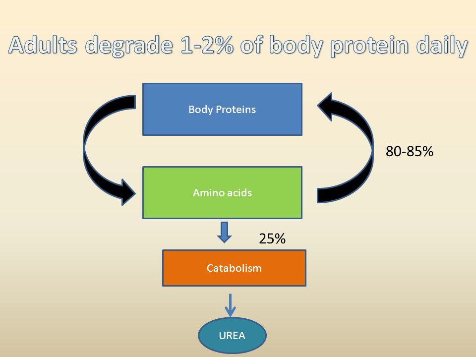Adults degrade 1-2% of body protein daily