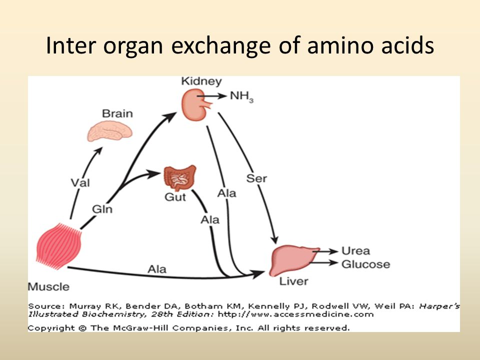 Inter organ exchange of amino acids