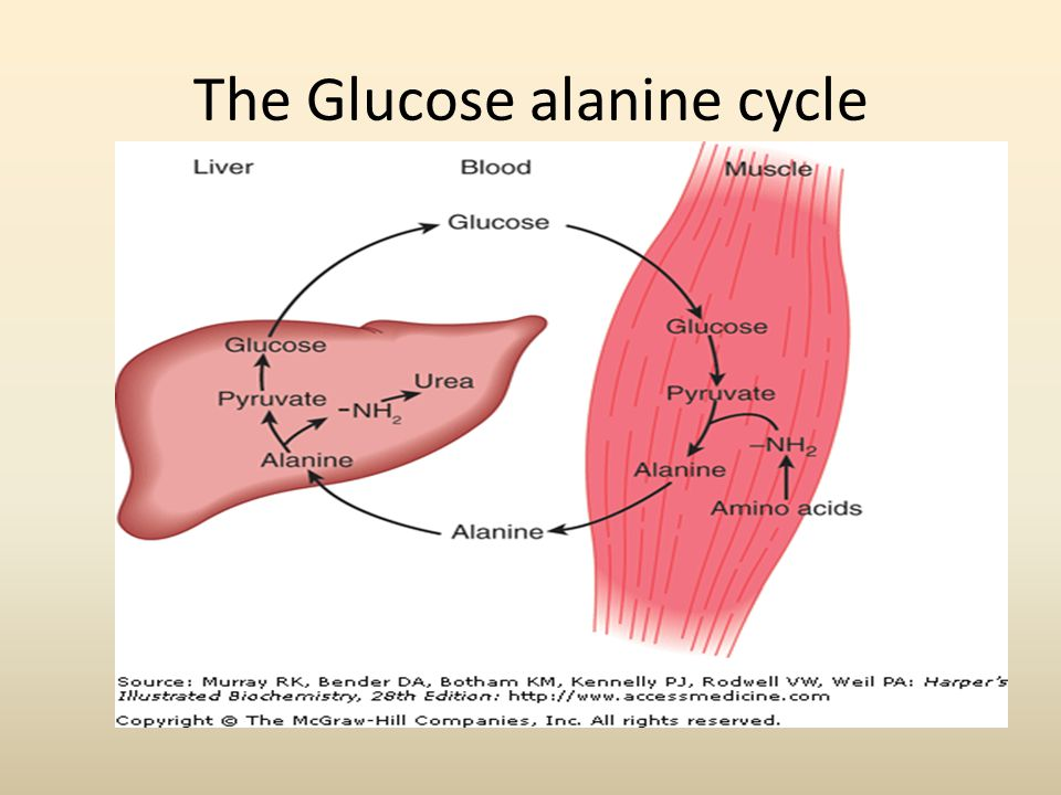 The Glucose alanine cycle