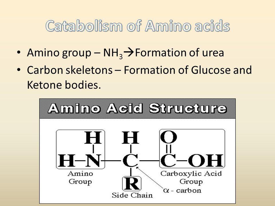 Catabolism of Amino acids