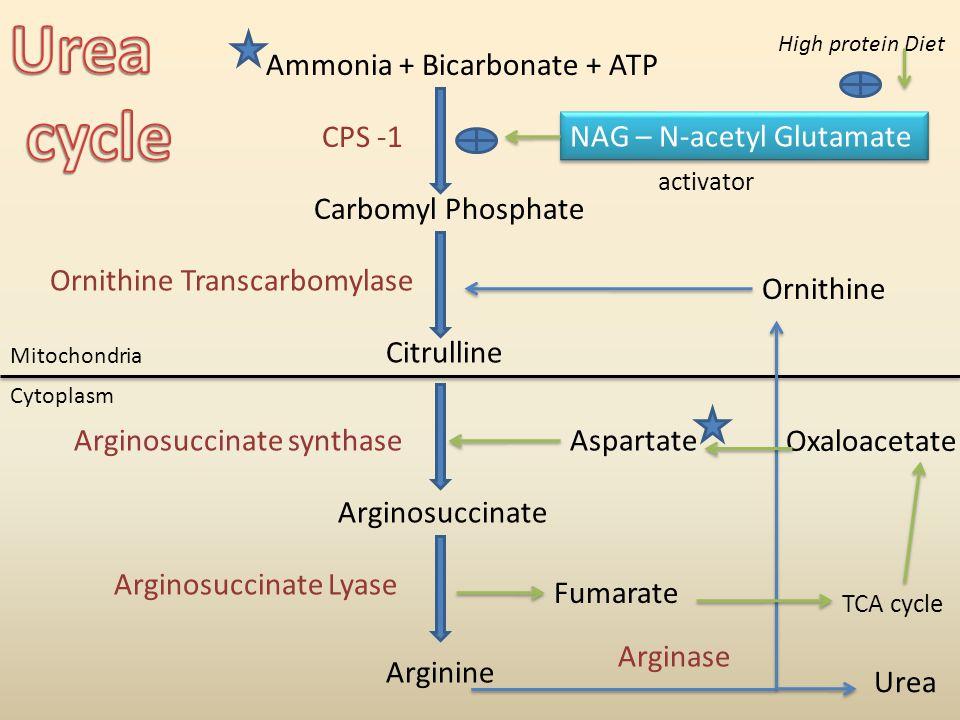 Urea cycle Ammonia + Bicarbonate + ATP CPS -1 NAG – N-acetyl Glutamate