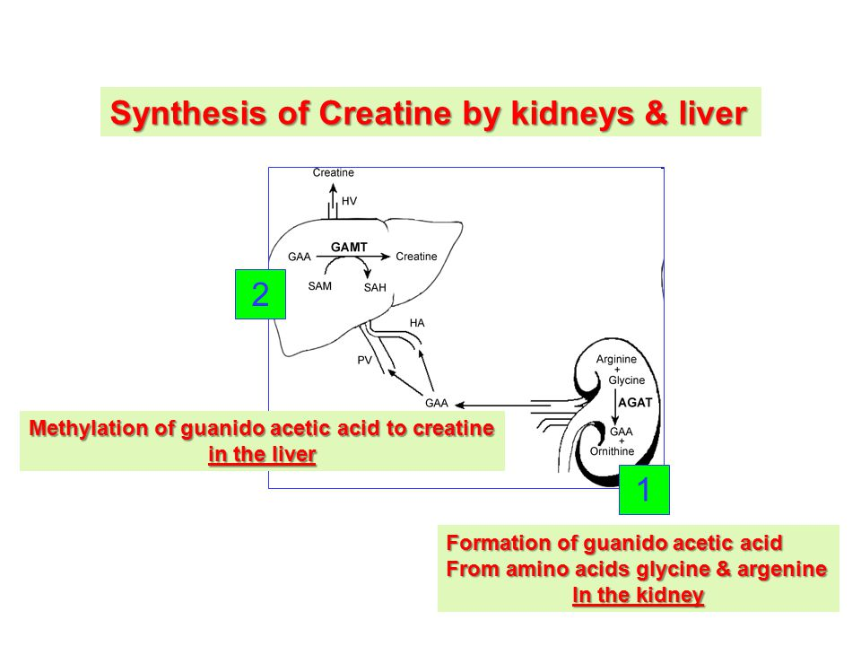 Synthesis of Creatine by kidneys & liver