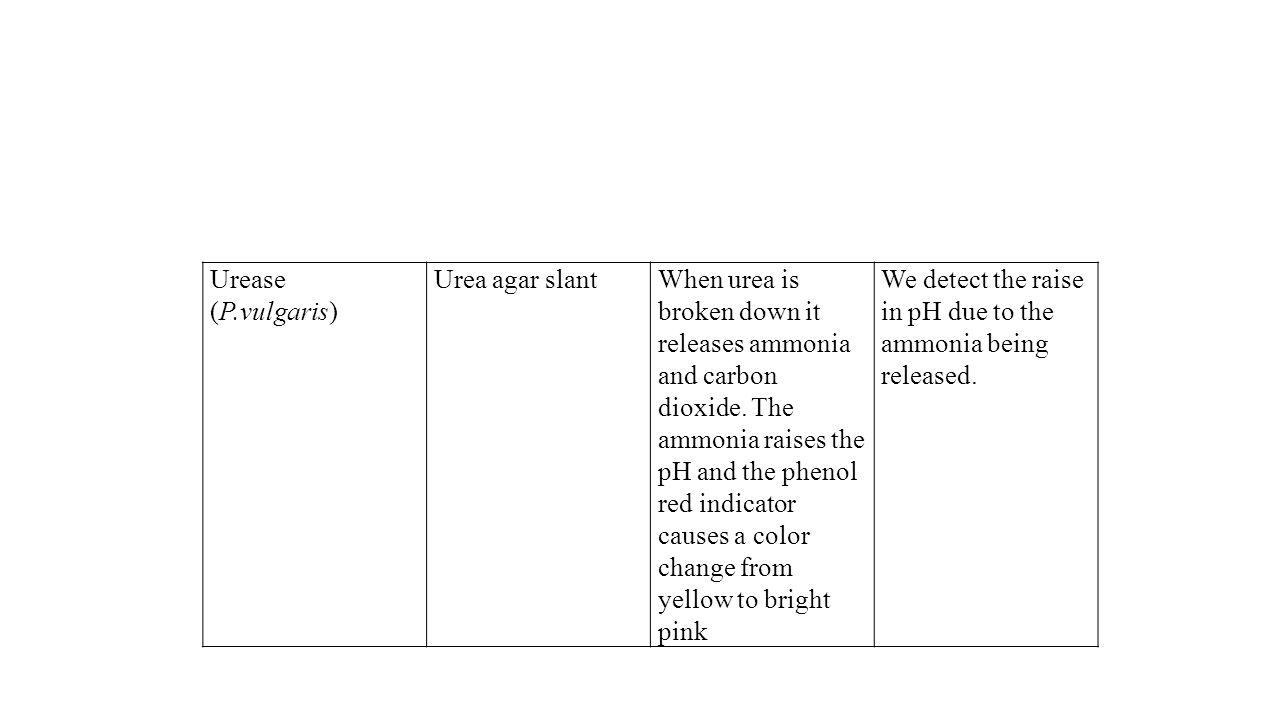 Urease (P.vulgaris) Urea agar slant.