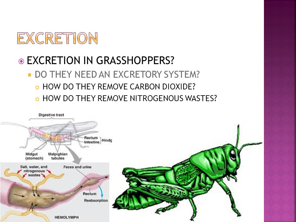 EXCRETION EXCRETION IN GRASSHOPPERS DO THEY NEED AN EXCRETORY SYSTEM