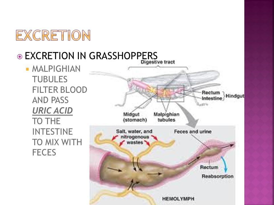 EXCRETION EXCRETION IN GRASSHOPPERS