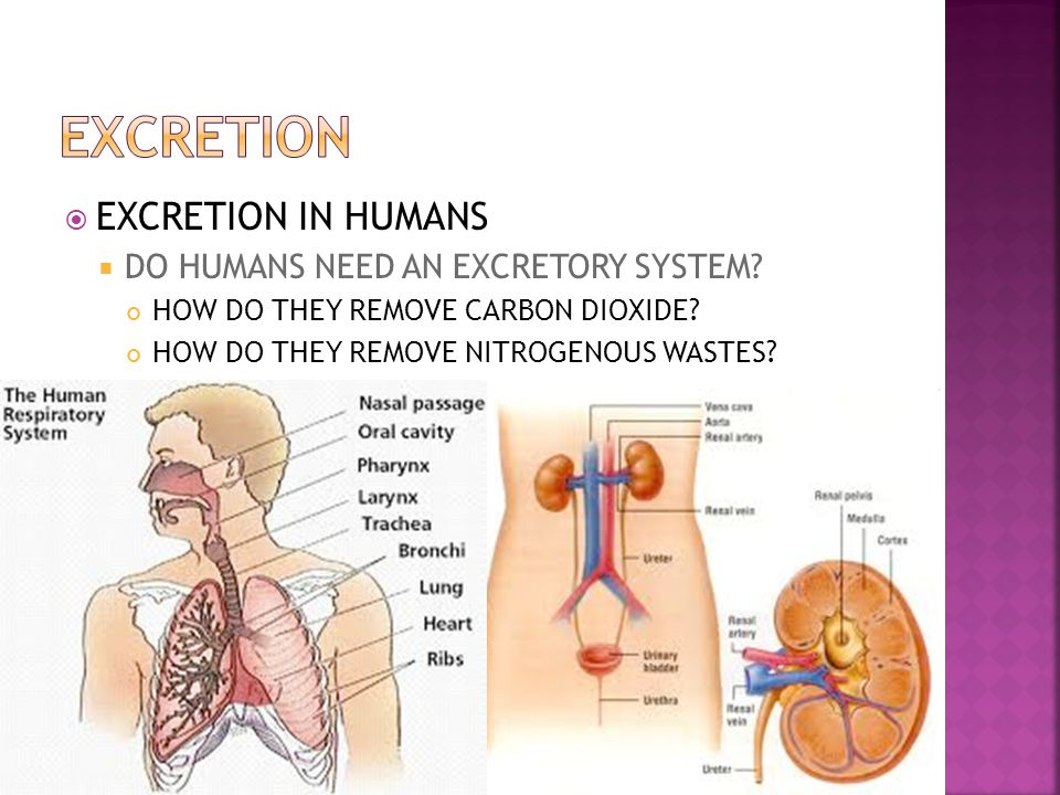 EXCRETION EXCRETION IN HUMANS DO HUMANS NEED AN EXCRETORY SYSTEM