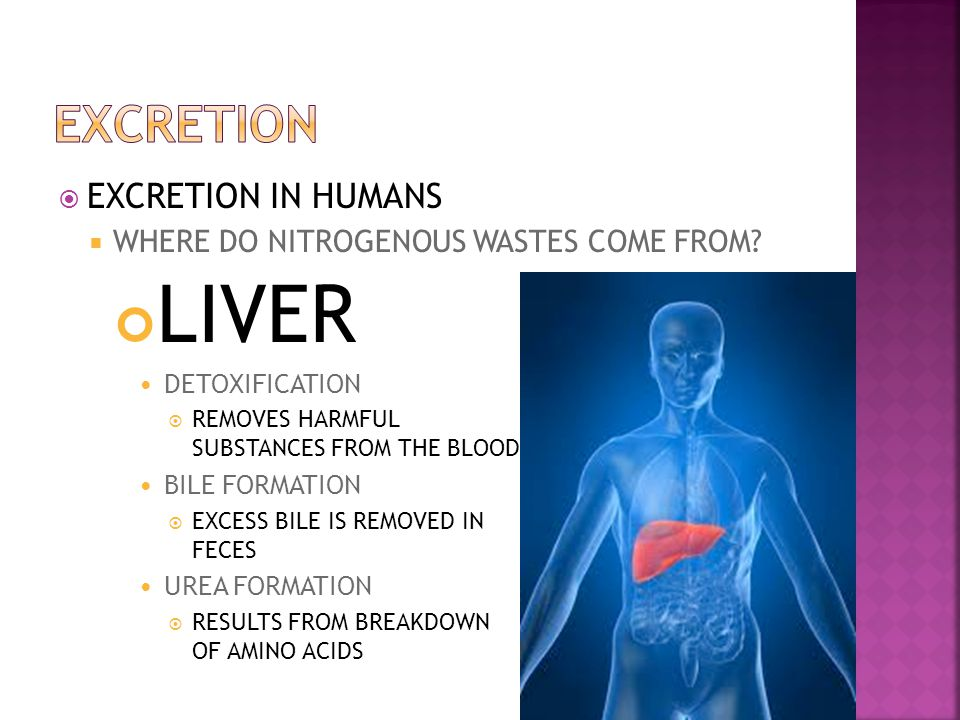 LIVER EXCRETION EXCRETION IN HUMANS