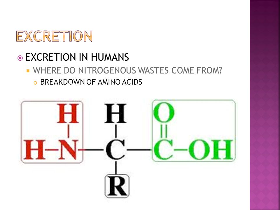 EXCRETION EXCRETION IN HUMANS WHERE DO NITROGENOUS WASTES COME FROM