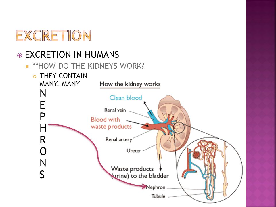 EXCRETION EXCRETION IN HUMANS **HOW DO THE KIDNEYS WORK