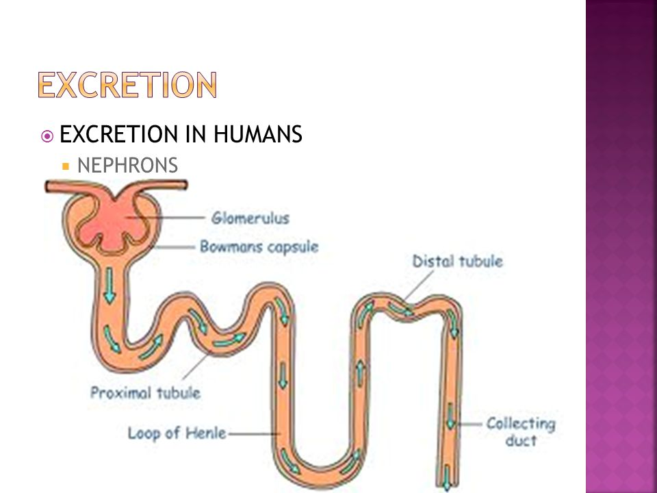 EXCRETION EXCRETION IN HUMANS NEPHRONS