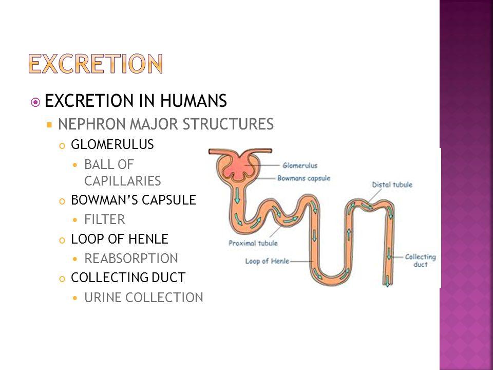 EXCRETION EXCRETION IN HUMANS NEPHRON MAJOR STRUCTURES GLOMERULUS