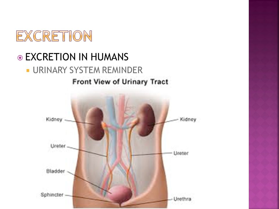 EXCRETION EXCRETION IN HUMANS URINARY SYSTEM REMINDER