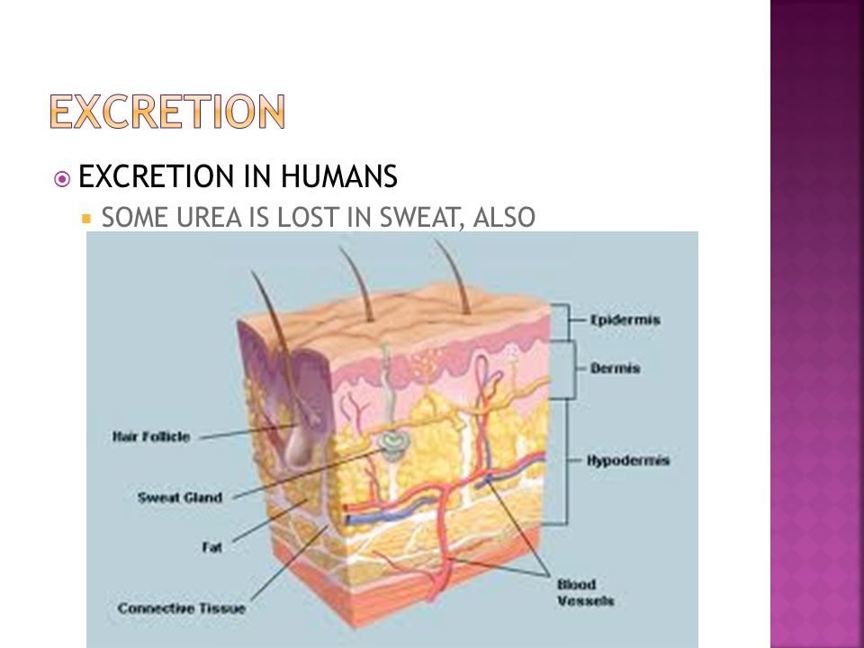 EXCRETION EXCRETION IN HUMANS SOME UREA IS LOST IN SWEAT, ALSO