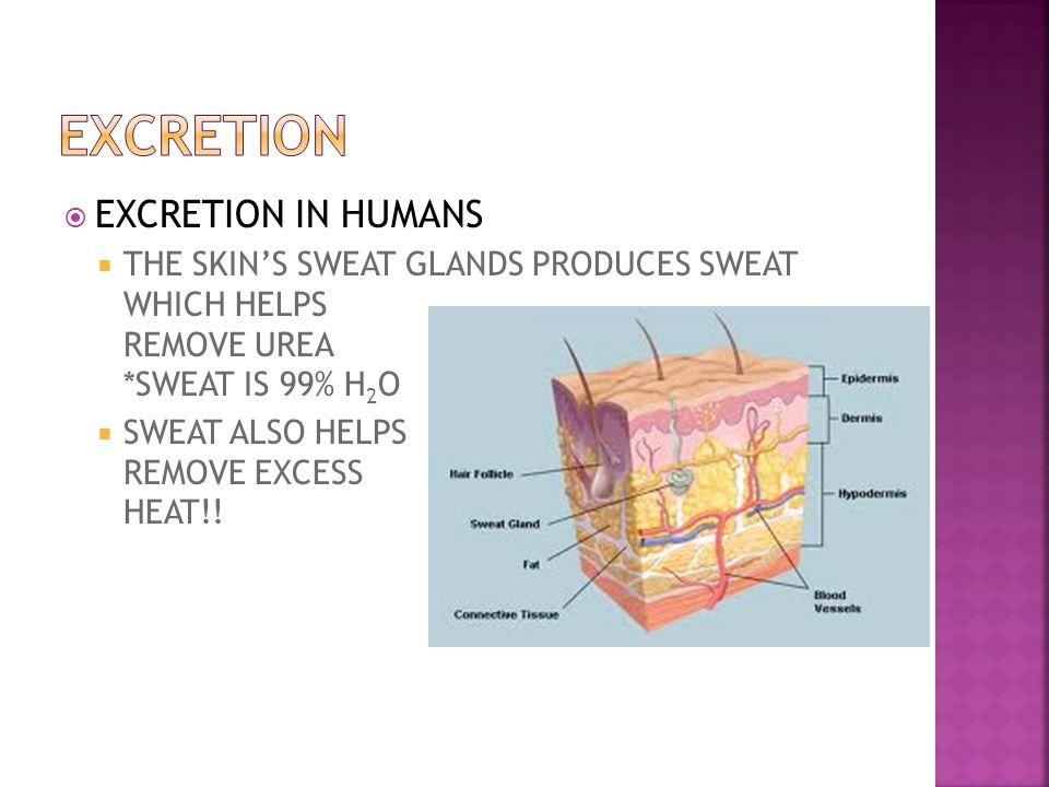 EXCRETION EXCRETION IN HUMANS