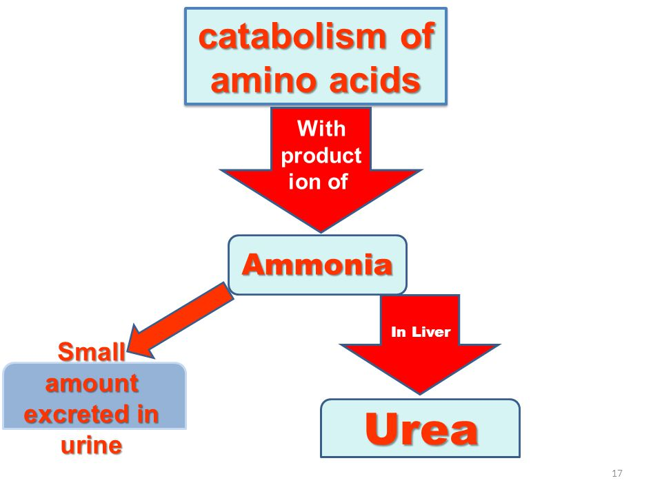 catabolism of amino acids Small amount excreted in urine